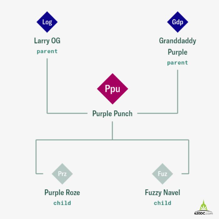 purple punch strain lineage