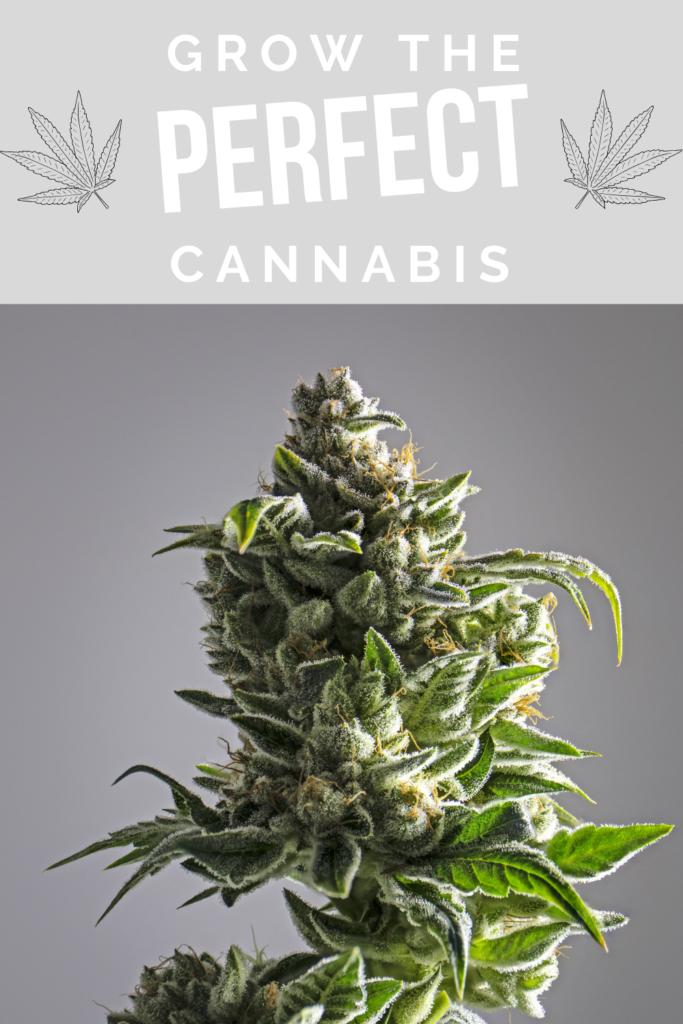 perfect cannabis