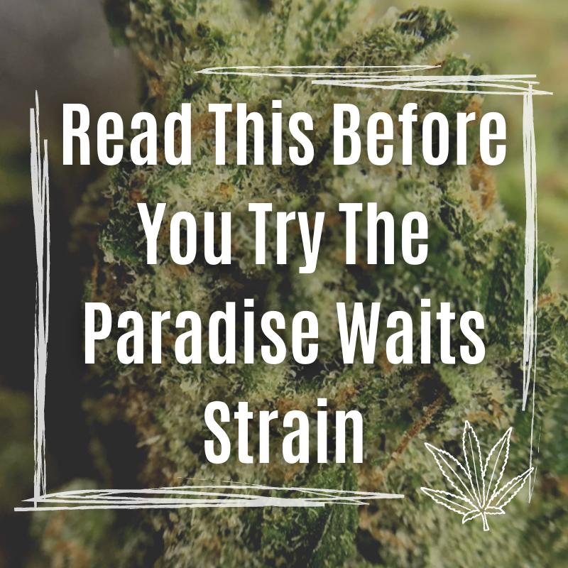 paradise waits strain